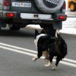 dogchasingcar_1